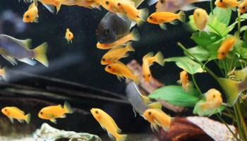 Aquarium-Seerose_Fische